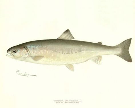 Fish Print of the Sunapee Trout or American Saibling (Female) by Sherman F Denton (1902)